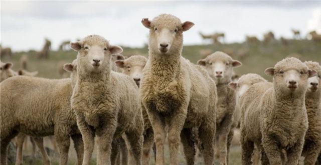 人造皮毛大衣热销中国,这可苦了澳洲的羊0.jpg